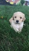 Goldendoodle Puppy For Sale in EPHRATA, PA,