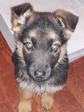 Medium Photo #5 German Shepherd Dog Puppy For Sale in SPOKANE, WA, USA