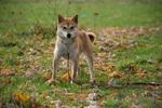 Shiba Inu Puppy For Sale in FREDERICKSBURG, OH, USA