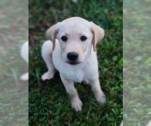 Labrador Retriever Puppy for sale in APPOMATTOX, VA, USA