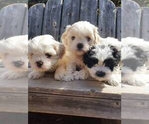 Zuchon Puppy for Sale in REDDING, California USA