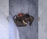 Small #9 Boerboel