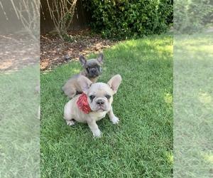 French Bulldog Puppy for sale in MODESTO, CA, USA