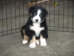 Australian Shepherd Puppy For Sale in SAINT JOHNS, FL, USA