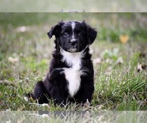Miniature Australian Shepherd Puppy for Sale in ALVATON, Kentucky USA
