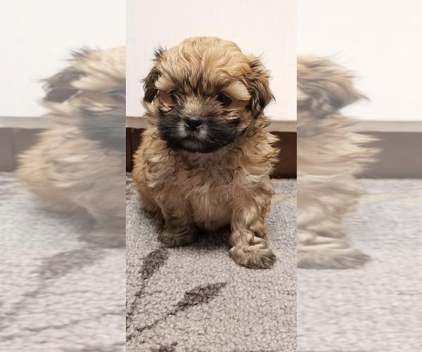 Medium Photo #1 Zuchon Puppy For Sale in SHAWNEE, KS, USA