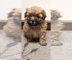 Small Photo #1 Zuchon Puppy For Sale in SHAWNEE, KS, USA