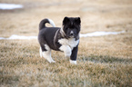 Akita Puppy For Sale in CHEYENNE, WY, USA