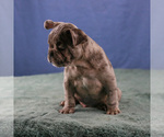 Small Photo #2 French Bulldog Puppy For Sale in BROOKLYN, NY, USA