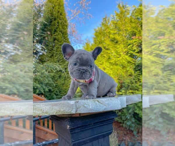 Medium Photo #4 French Bulldog Puppy For Sale in MARYSVILLE, WA, USA