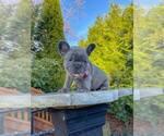 Small Photo #4 French Bulldog Puppy For Sale in MARYSVILLE, WA, USA