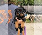 Rottweiler Puppy For Sale in NIPOMO, CA, USA