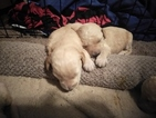 Labradoodle Puppy For Sale in ALPINE, UT