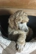 Poodle (Standard) Puppy For Sale in SEVILLE, OH,