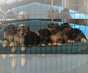 Australian Shepherd Puppy for sale in UNION CITY, CA, USA