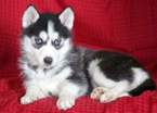 Siberian Husky Puppy For Sale in MOUNT JOY, PA, USA