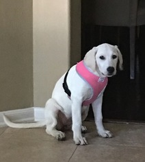 Labrador Retriever Puppy For Sale in HUMBLE, TX