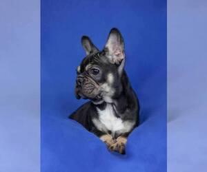 French Bulldog Puppy for sale in Oroshaza, Bekes, Hungary