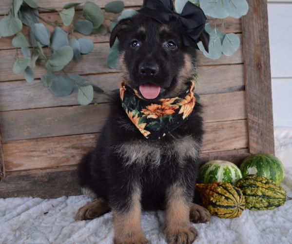 Medium Photo #2 German Shepherd Dog Puppy For Sale in HONEY BROOK, PA, USA
