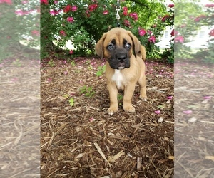 Boxer-Catahoula Leopard Dog Mix Puppy for Sale in DANVILLE, Virginia USA