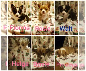 Pembroke Welsh Corgi Puppy for sale in UNION CITY, OK, USA