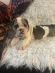 Bulldog Puppy For Sale in EAST HAVEN, CT, USA