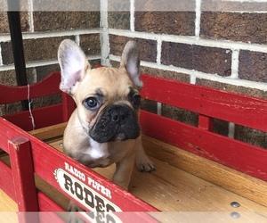 French Bulldog Dog for Adoption in HOCKESSIN, Delaware USA