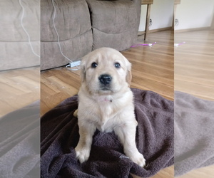 Golden Retriever Puppy for Sale in WILLIAMSTOWN, Kentucky USA