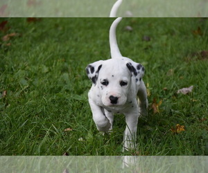Dalmatian Puppy for sale in MERCER, PA, USA