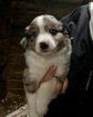 Australian Shepherd Puppy For Sale in LAKEVILLE, MN