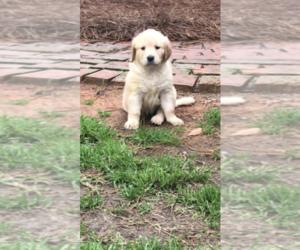 Golden Retriever Puppy for sale in COTTONWOOD, AL, USA