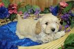 Sam Cavachon Male Puppy DOB Dec 18h 2018