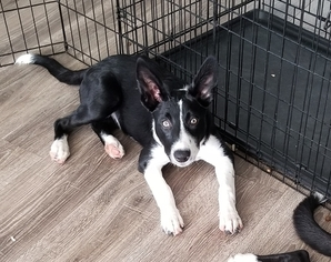 Border Collie Puppy For Sale in GROVELAND, FL, USA