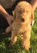 Labradoodle Puppy For Sale in TUSCOLA, IL, USA