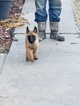 Belgian Malinois Puppy For Sale near 73098, Wynnewood, OK, USA