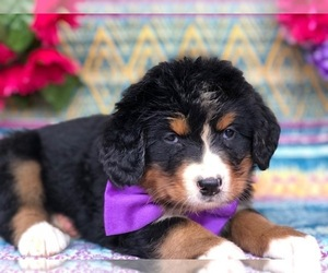 Bernese Mountain Dog Puppy for sale in CLAY, PA, USA