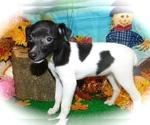 Small #3 Jack-Rat Terrier