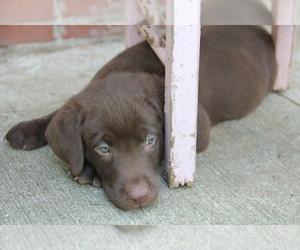 Labrador Retriever Puppy for sale in COLUMBIA, MO, USA