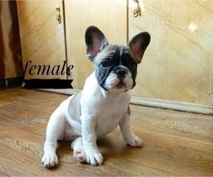 French Bulldog Puppy for Sale in PORT ORANGE, Florida USA
