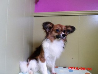 Papillon Puppy for sale in PATERSON, NJ, USA