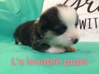 Pembroke Welsh Corgi Puppy For Sale in ASHEBORO, NC, USA
