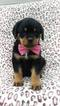 Sophie the Rottweiler