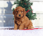 Small #3 Goldendoodle (Miniature)