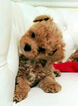 Poochon Puppy For Sale in BERZELIA, GA, USA