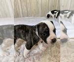 Small #11 American Bulldog