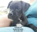 Boxer Puppy For Sale in CORYDON, IN,