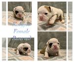 Puppy 3 Bulldog