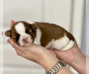Shih Tzu Puppy for Sale in SUGAR HILL, Georgia USA