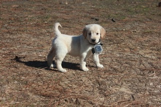 Golden Retriever Puppy For Sale in LADYS ISLAND, SC