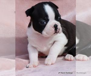 Boston Terrier Puppy for Sale in WINNSBORO, Texas USA